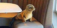 Как тюлень пришел искать еды в ресторане и уснул там