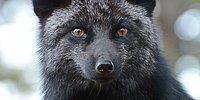 Серебряная красота черных лисиц