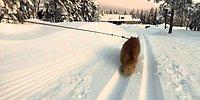Самая спортивная кошка в мире везет лыжницу!