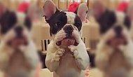 Oyuncağını İsterken Aşırı Sevimli Görünen Kibar Fransız Bulldog