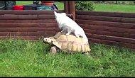 6 Lazy Ass Animals Using Turtles As Cabs