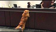 This Smart Golden Retriever Is Withdrawing Cookies Instead Of Cash At A Bank