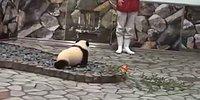 Нападение панды на фотографа!