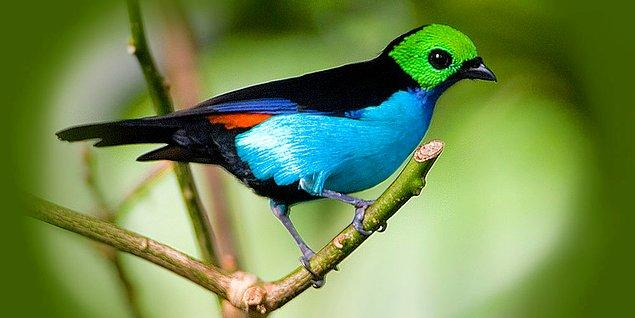 2. Cennet Tanager