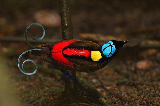 13. Wilson Cennet Kuşu