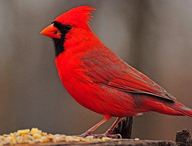 18. Kardinal Kuşu