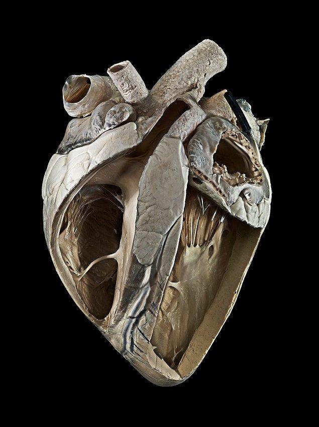 6. İnek Kalbi