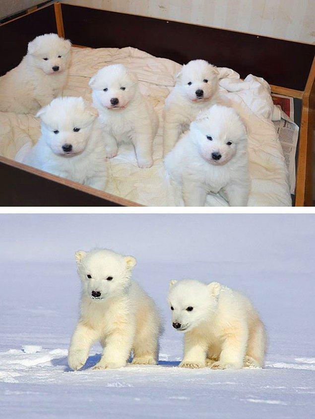 2. Samoyed cinsi köpekler sanki hayata kutup ayısı olarak başlayıp sonradan köpek olmayı tercih ediyor gibi