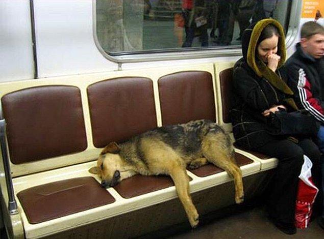1. Moskova'da yaşayan sokak köpekleri, banliyölerden trene binerek gündüzleri daha kolay yemek bulabilecekleri şehre gidiyor, geceleri ise uyuması daha güvenli olan banliyölere yine trenle geri dönüyorlar.