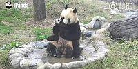 Детеныш панды напрочь не желает принимать ванну