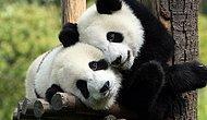 18 GIFs Explaining Why Pandas Really Face Extinction :-D