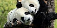 18 GIFs Explaining Why Pandas Really Face Extinction :-D