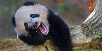 19 мимишных снимков с забавно смеющимися животными