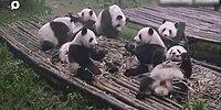 10 эпизодов с пандами, которые заставят вас улыбаться весь день