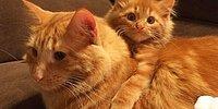 Рыжий кот вырастил свою копию