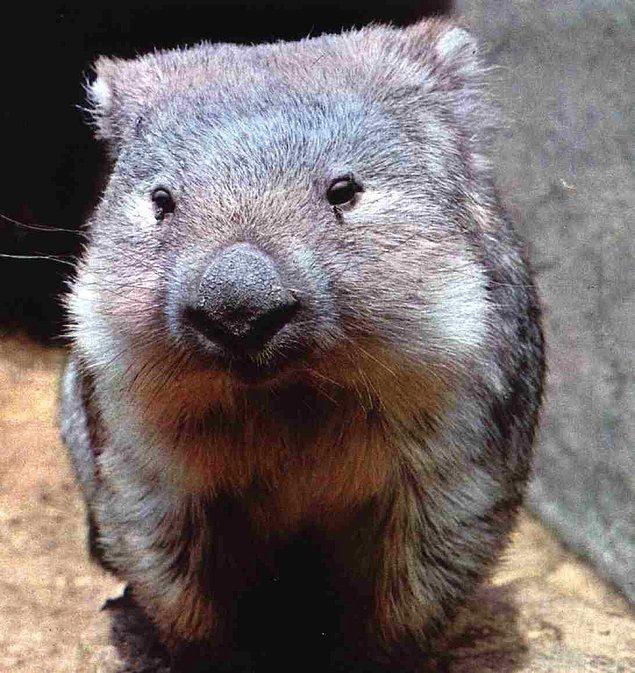 Koalaların yakın akrabası olan bu küçük hayvanların kesesi, diğer keselilerden farklı olarak sırt bölgesinde bulunuyor.