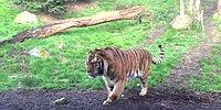 Выражение лица, когда разбудили... тигра!