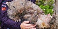 Животное, которое 100% займет I место в соревновании по мимишности - вомбат