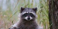 20 Awesome Things About Raccoons Guaranteed To Make You Adopt One!