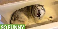 Хаски хочет принять ванну