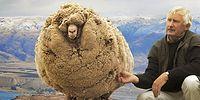 Meet The Rebellious Runaway Sheep, Shrek!