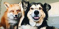 Лис и пес - друзья на век: история необычной дружбы
