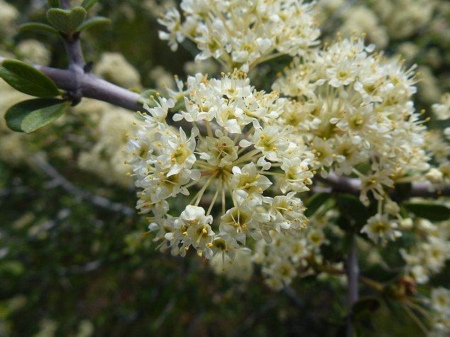 1. Kese Çiçeği