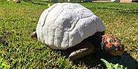 Тони Старк в мире животных: покалеченная черепаха получает новый панцирь