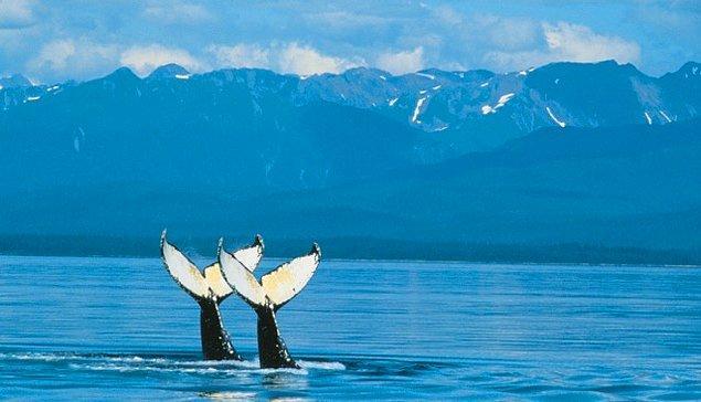 10. Her şeyden habersiz kuyruklarıyla VW yapan bu balinalar
