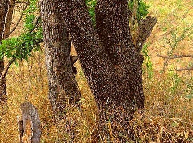 8. Sadece görmek isteyenlerin görebileceği sağ altta gizlenen bir leopar