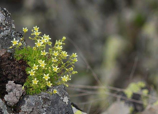 7. Taşkıran Otu (Sxifraga Paniculata)
