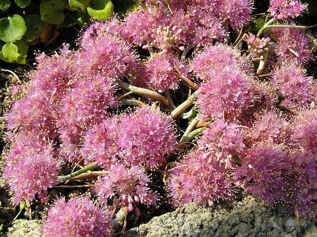 1. Yabani Sarımsak (Allium Kurtzianum)