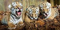 В тайском монастыре найдены 40 мертвых тигрят