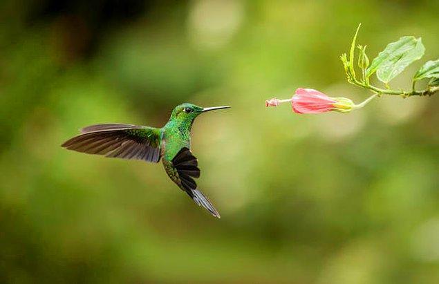 15. Sinek kuşları kanatlarını saniyede 200 kez çırpabilir.