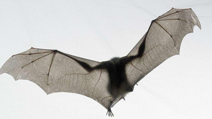 The Membrane Of Bats Wings Makes Up 95 Their Total Body Surface