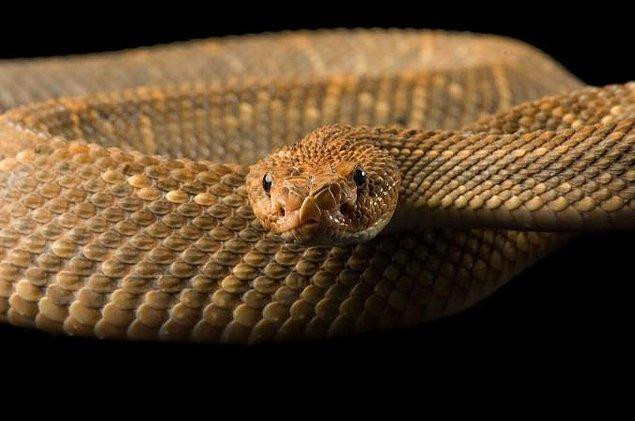 9. Engerek yılanları zehirledikleri avının izini dilleriyle takip ederler ve ölüsünü bularak yutarlar.