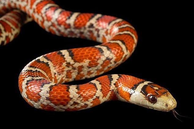 10. Temiz bir cam üzerine konulan yılan hiçbir yere gitmeden, sadece olduğu yerde bile, istediği kadar kıvrılabilir.
