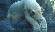 Arturo The Polar Bear Died In The Zoo After 30 Unhappy Years