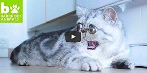 Когда пучеглазая кошка не мем, а реальность