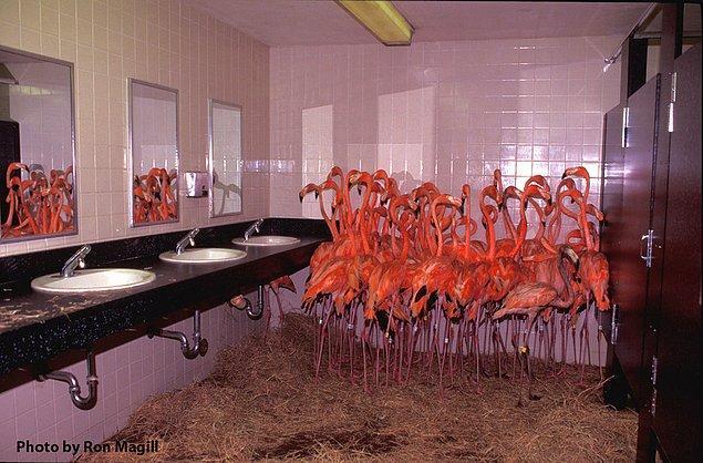 18. Andrew Kasırgası sırasında Miami Hayvanat Bahçesi'ndeki korkmuş flamingolar, 24 Ağustos 1992.