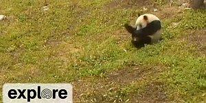 Панды продолжают кувыркаться