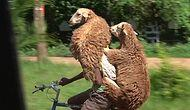 Ethiopian Shepherd Who Carries Sheep On His Bicycle