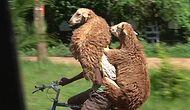 Ethiopian Shepherd Who Carries Sheep On His Bicycle