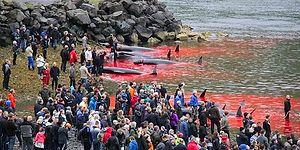300-Year Old Tradition: A Whale Massacre