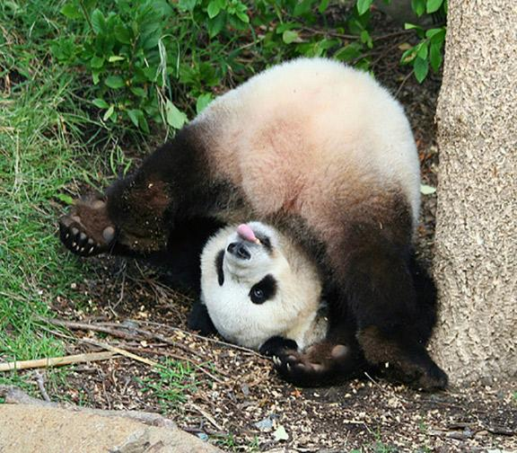 16 things that prove pandas are the goofiest and cutest animals 12 they love being goofballs voltagebd Choice Image