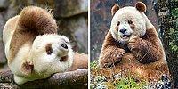 Единственная в мире коричневая панда хлебнула горя из-за своей необычной внешности