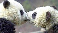 Science Explains Why Pandas Have So Little Sex : (