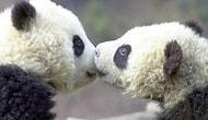 Science Explains Why Pandas Have So Little Sex : (