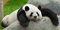 16 Things That Prove Pandas Are The Goofiest And Cutest Animals