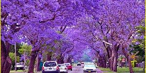 Take Another Look At Buenos Aires With Its Dazzling Jacaranda Trees !
